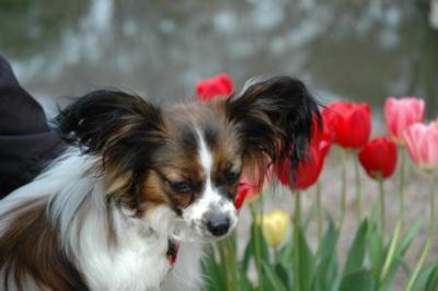チューリップも咲いています