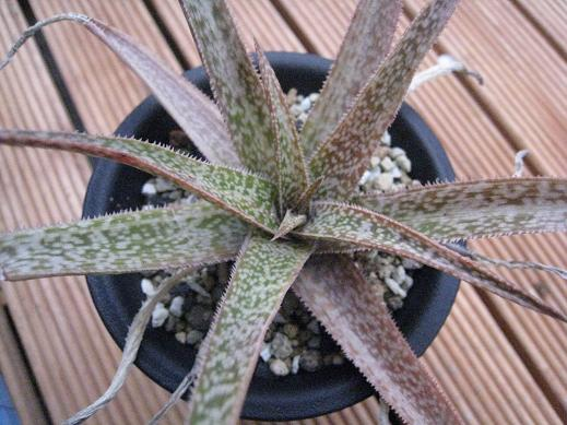 albiflora hyb.
