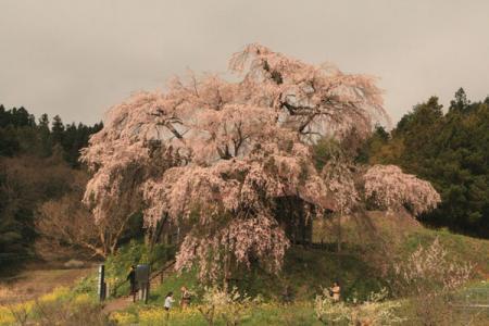 上石不動桜