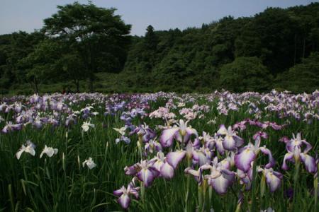 花之江の初夏