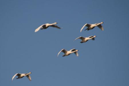 羽田の白鳥