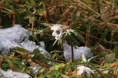 節分草と雪