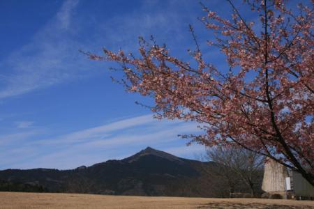 茨城県FP河津桜園