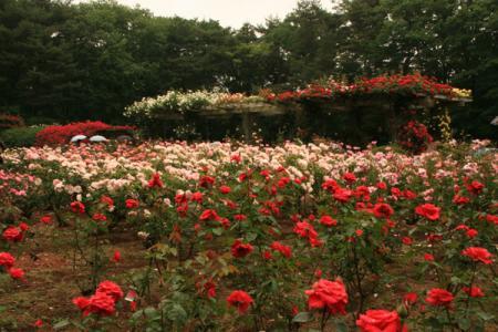 井頭公園のバラ2