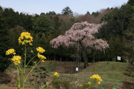 龍興寺のしだれ桜