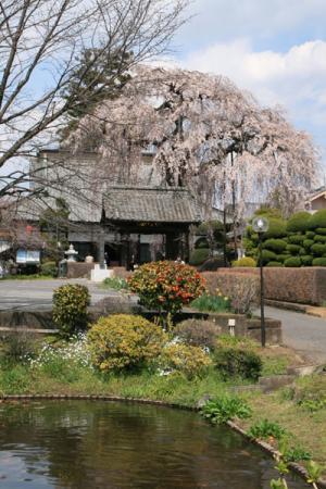満願寺のしだれ桜