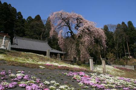 松雲寺のしだれ桜