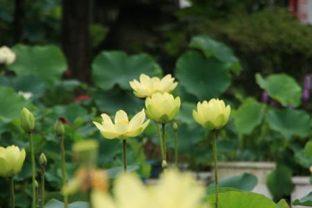 東輪寺の蓮