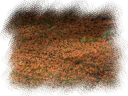 金木犀の絨毯。