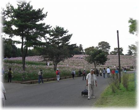 コスモスの丘。
