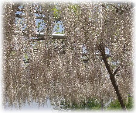うすべに藤の藤棚。
