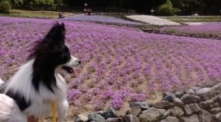 090510花のじゅうたんb