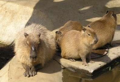 capybara.jpeg