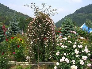 美山のバラ