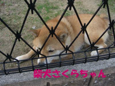 柴犬さくらちゃん