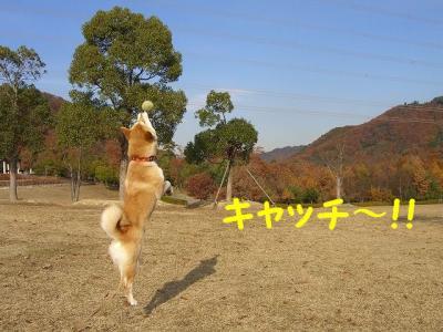 柴犬カラー中でキャッチ!