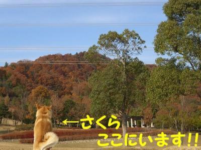 完全に柴犬カラー!