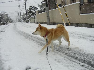 雪道、柴犬横断中!