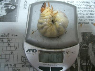 アドゥンクス菌糸交換