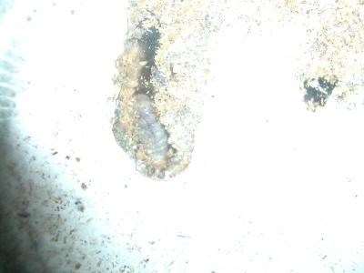 ババ菌糸セット3