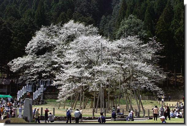 根尾谷の淡墨桜