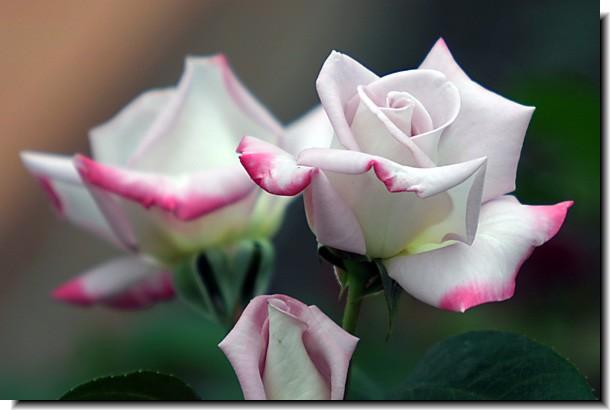 王子のバラ