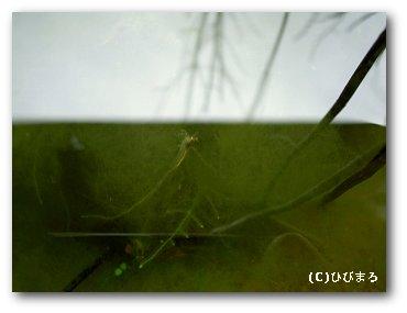 藻にからまるミナミヌマエビ
