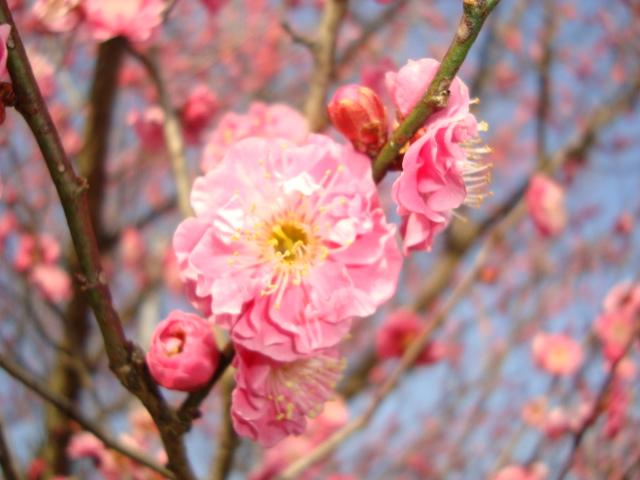 梅の花 014