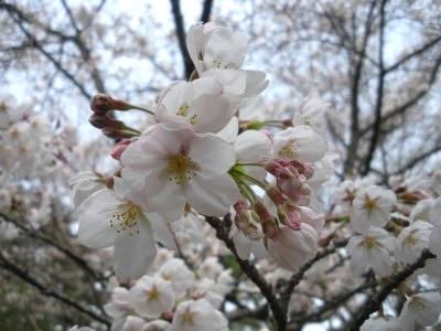 お花見(2009年3月28日)1