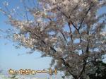 ついに満開の桜、発見!!