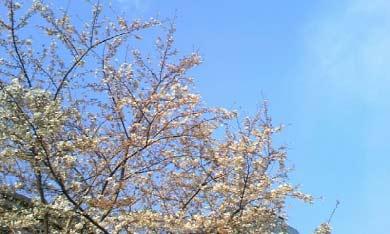090329_sakura
