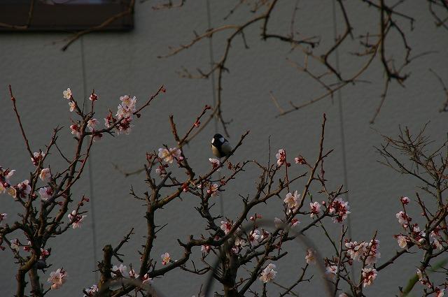 梅には四十雀のオス