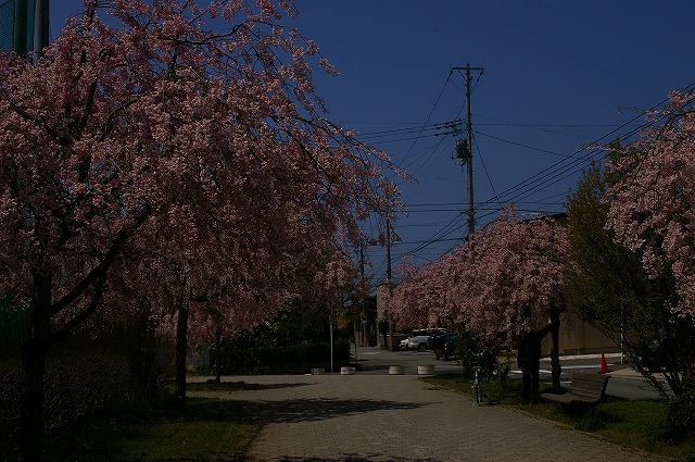 紅しだれ桜1