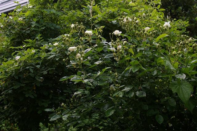 summersnowと原種のばら