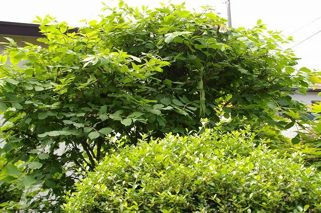 ニシキギの木