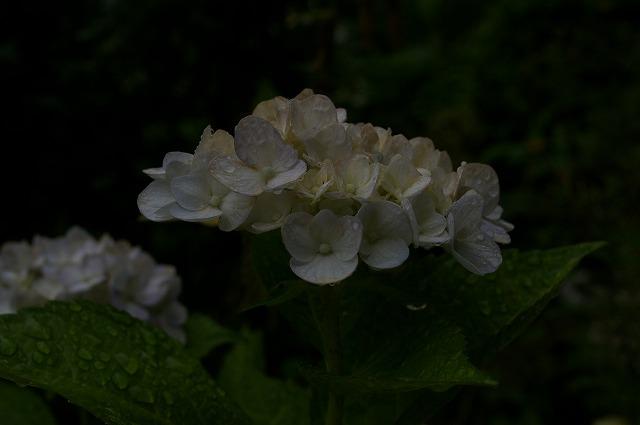 白いアジサイ1