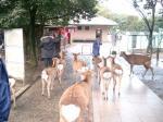 180330O奈良公園の鹿1
