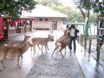 180330奈良公園の鹿2