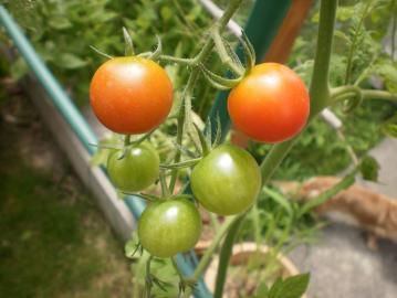 トマト 003