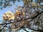 夕焼けに染まる桜