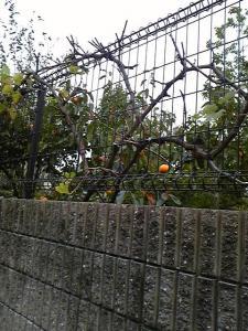 ハナちゃんちの柿