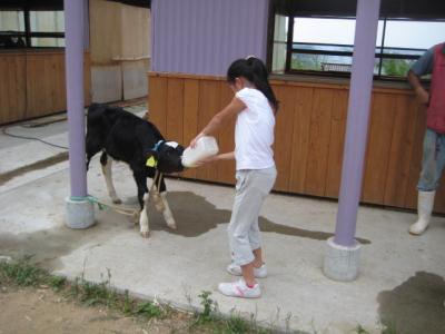 子牛のミルクあげ
