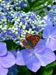 紫陽花と蝶20060708