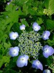 紫陽花20060708