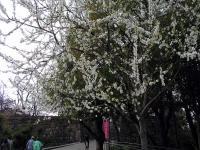 大阪城の桜其の二