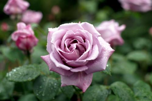 m-rose-ko.jpg