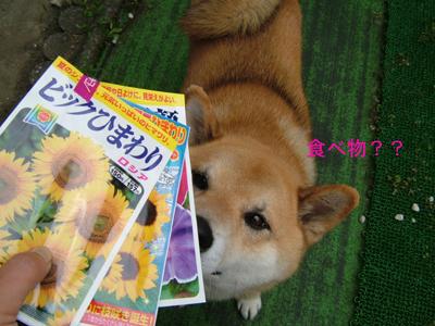 himawariasagao090610.jpg