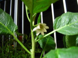 IMG_0255_convert_20090916220351なすの花