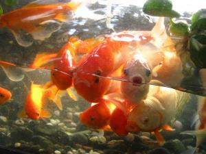 IMG_0456_convert_20091108182603金魚