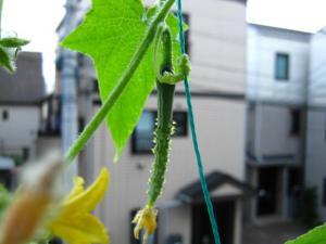 kyuuri_20090718142026.jpg